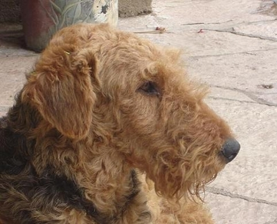 Airedale terrier adopcion