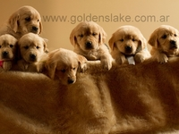 "Cachorros Golden Retriever ""Goldens Lake"" - Mascotas - Comodoro Rivadavia"