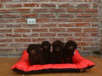 Caniche toy macho marron chocolate en venta  - Animales en General - Lomas de Zamora