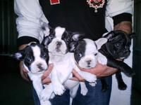Regalo hermoso cachorros bulldog frances - Animales en General - Diego de Almagro