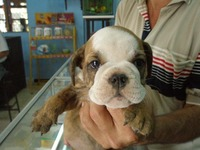LINDOS BULLDOG INGLES - Animales en General - Cartagena