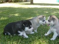 Siberian Husky Cachorros Disponibles - Animales en General - Cartagena