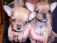Chihuahua macho y hembra disponibles - Animales en General - Buenos Aires