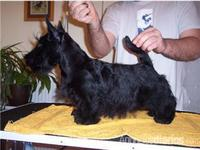 cachorro scottish terrier - Mascotas - Navarra