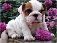 regalo bulldog ingles pedigree macho y hembra - Animales en General - Alamillo