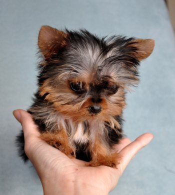REGALO MINI TOY YORKSHIRE TERRIER CACHORROS - Animales en General ...