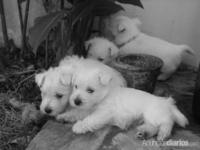 West Highland White Terrier VENDO!