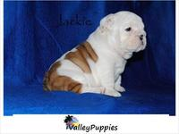 REGALO DE BULLDOG INGLES CACHORROS - Animales en General - Chichigalpa