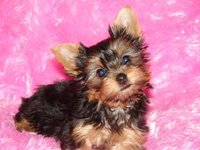 yorkshire terrier disponible para adopción. - Animales en General - Boquerón