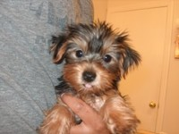 yorkshire terrier disponible para adopción. - Animales en General - Las Minas