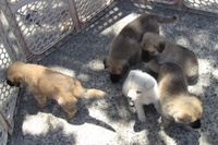 Venta German Shepherds Puppy's - Mascotas - Carolina
