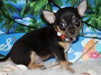 Regalo chihuahua saludable disponibles para la adopción. - Animales en General - San Antonio del Monte