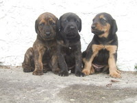 Perritos de Plotthound