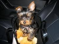 SUPER!! TEACUP YORKIE-POODLE CRUZ PARA LA ADOPCION