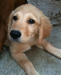 Bonita Golden Retriever