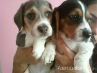 PUPPIES BEAGLES - Mascotas - New Jersey