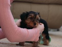 M/F Teacup Yorkie Puppies; Available Txt (413) 752-2464 - Animales en General - Phenix City