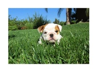 Cachorros bulldog ingles - Animales en General - Erie